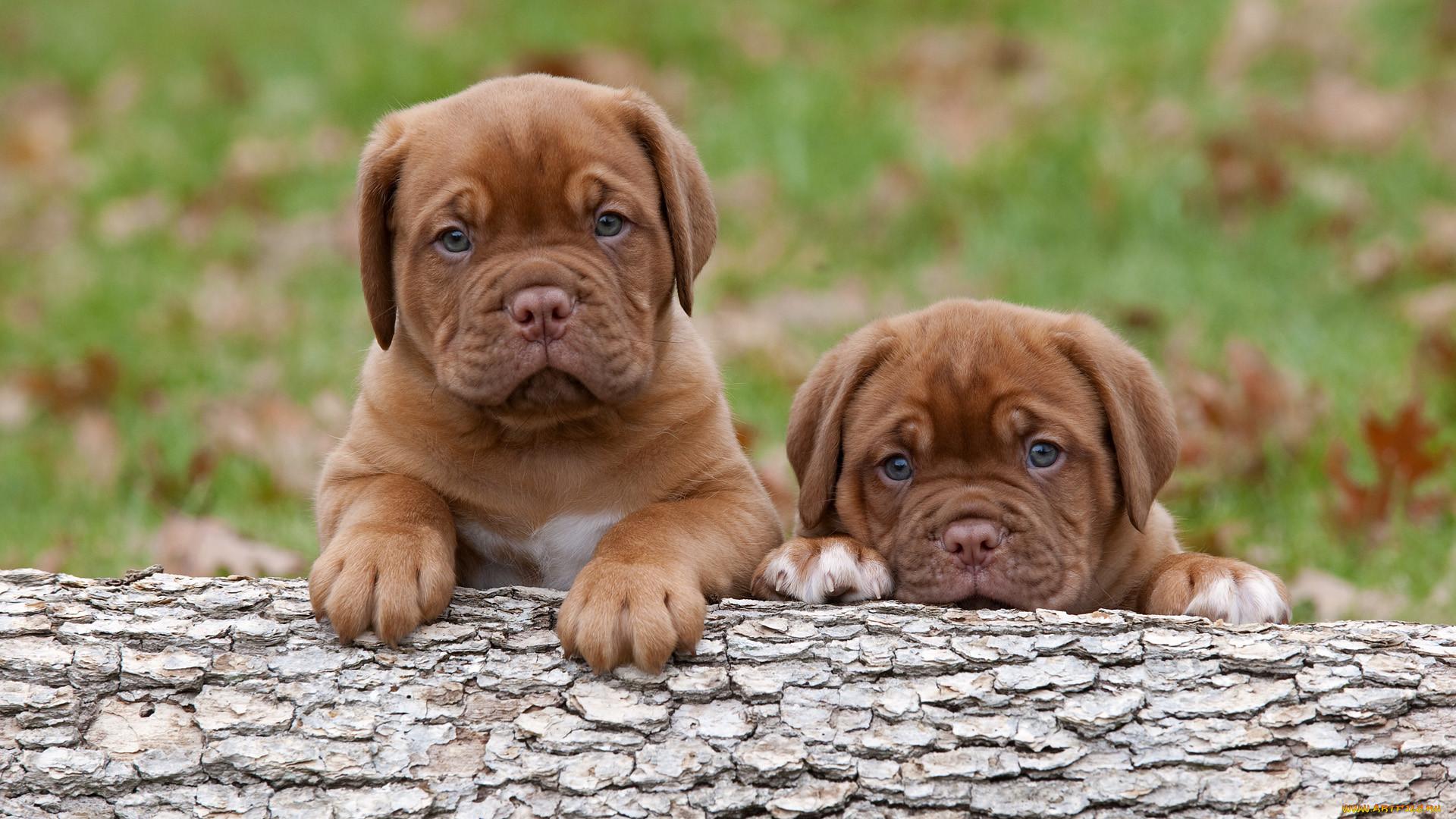 обои на рабочий животные собаки размножается